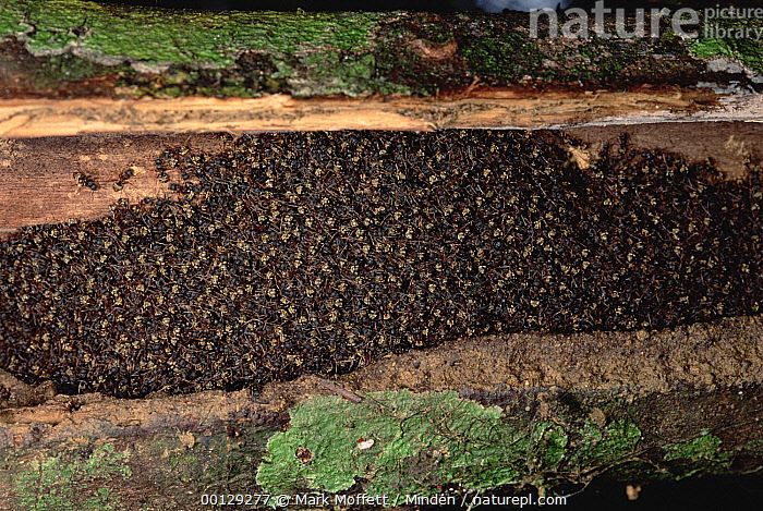 Herdsman Ant (Dolichoderus cuspidatus) group and nest, Malaysia  ,  Color Image, Dolichoderus cuspidatus, Full Length, Herdsman Ant, Horizontal, Insect, Large Group of Animals, Malaysia, Nest, Nobody, Photography, Rear View, Rookery, Wildlife,Herdsman Ant,Malaysia  ,  Mark Moffett
