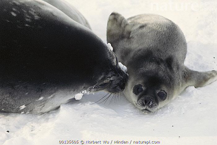 Weddell Seal (Leptonychotes weddellii) mother and newborn pup, Antarctica  ,  Antarctica, Birthing, Color Image, Day, Family, Front View, Head and Shoulders, Horizontal, Kissing, Leptonychotes weddellii, Looking at Camera, Marine Mammal, Mother, Nobody, Photography, Polar Climate, Pup, Seal, Side View, Three Quarter Length, Two Animals, Weddell Seal, Wildlife,Weddell Seal,Antarctica  ,  Norbert Wu