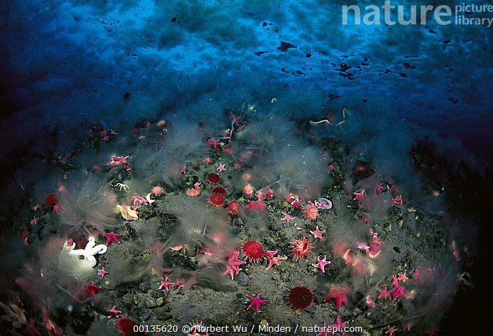 Nature Picture Library - Sea Star (Odontaster validus) group