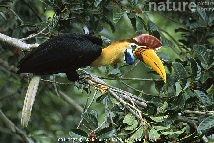 Sulawesi Red-knobbed Hornbill (Aceros cassidix) breeding male in a fruiting Fig tree (Ficus forsteni) 32 meters above the ground in rainforest canopy, Tangkoko-Dua Saudara Nature Reserve, Sulawesi, Indonesia  ,  Aceros cassidix, Color Image, Colorful, Day, Ficus forsteni, Fig, Forest Habitat, Full Length, Horizontal, Male, Nobody, One Animal, Photography, Rainforest, Side View, Sulawesi, Sulawesi Red-knobbed Hornbill, Tangkoko-Dua Saudara Nature Reserve, Wildlife, Yellow,Sulawesi Red-knobbed Hornbill,Fig,Ficus forsteni,Indonesia  ,  Mark Jones