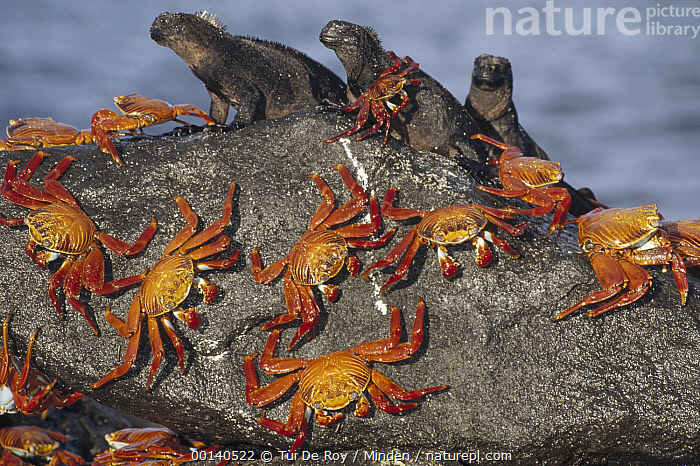 Sally Lightfoot Crab (Grapsus grapsus) group sharing boulder with Marine Iguana (Amblyrhynchus cristatus) trio to escape high tide, Mosquera Island, Galapagos Islands, Ecuador  ,  Amblyrhynchus cristatus, Biodiversity, Color Image, Colorful, Crab, Day, Difference, Ecuador, Front View, Full Length, Galapagos, Galapagos Islands, Grapsus grapsus, Horizontal, ILCP, Large Group of Animals, Lizard, Marine Iguana, Mosquera Island, Nobody, Photography, Sally Lightfoot Crab, Sharing, Side View, Threatened Species, Vulnerable Species, Wildlife,Sally Lightfoot Crab,Marine Iguana,Amblyrhynchus cristatus,Ecuador  ,  Tui De Roy