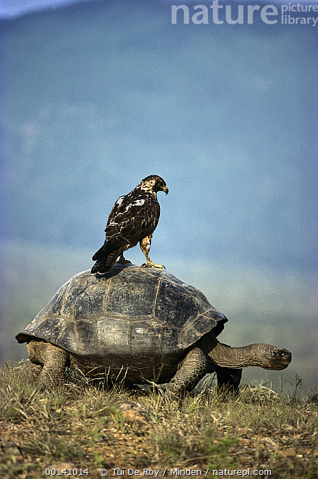 Volcan Alcedo Giant Tortoise (Chelonoidis nigra vandenburghi) Galapagos Hawk (Buteo galapagoensis) riding on back, Alcedo Volcano, Isabella Island, Galapagos Islands, Ecuador, Alcedo Volcano, Buteo galapagoensis, Chelonoidis nigra vandenburghi, Color Image, Day, Ecuador, Full Length, Galapagos Hawk, Galapagos, Galapagos Islands, Geochelone nigra, Hawk, Humor, ILCP, Nobody, Perching, Photography, Raptor, Rear View, Riding, Side View, Threatened Species, Tortoise, Two Animals, Vertical, Vulnerable Species, Wildlife,Volcan Alcedo Giant Tortoise,Galapagos Hawk,Buteo galapagoensis,Ecuador, Tui De Roy