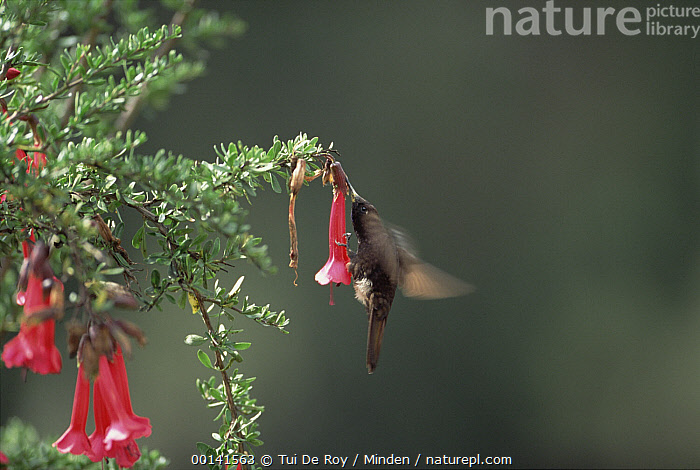 Black Metaltail Hummingbird (Metallura phoebe) feeding on flower nectar, Colca Canyon, Southern Andes, Peru  ,  Andes Mountains, Andes, Black Metaltail, Blurred Motion, Colca Canyon, Color Image, Day, Drinking, Flower, Full Length, Horizontal, Hovering, Hummingbird, ILCP, Metallura phoebe, Nectar, Nobody, One Animal, Peru, Photography, Side View,Black Metaltail Hummingbird,Peru  ,  Tui De Roy