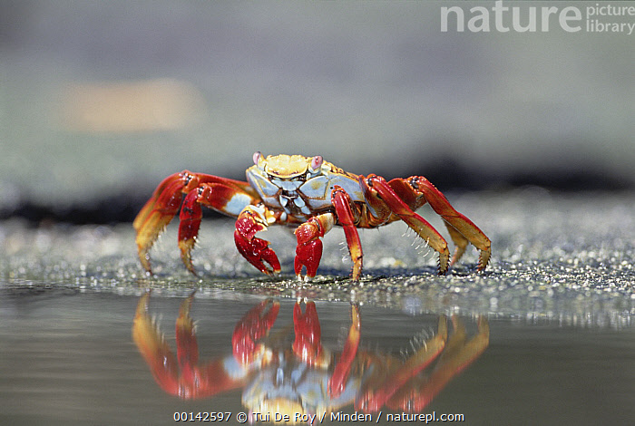 Sally Lightfoot Crab (Grapsus grapsus) feeding along tide pool edge, Punta Espinosa, Fernandina Island, Galapagos Islands, Ecuador  ,  Color Image, Crab, Day, Eating, Ecuador, Fernandina Island, Front View, Full Length, Galapagos, Galapagos Islands, Grapsus grapsus, Horizontal, ILCP, Nobody, One Animal, Photography, Punta Espinosa, Red, Reflection, Sally Lightfoot Crab, Tidepool, Water, Wildlife,Sally Lightfoot Crab,Ecuador  ,  Tui De Roy