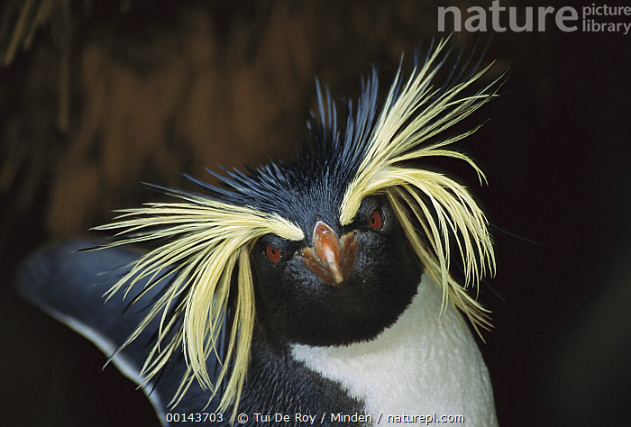 Northern Rockhopper Penguin (Eudyptes moseleyi) portrait, Gough Island, South Atlantic  ,  Adult, Color Image, Day, Eudyptes chrysocome, Eudyptes crestatus, Gough Island, Head and Shoulders, Horizontal, ILCP, Looking at Camera, Nobody, One Animal, Outdoors, Photography, Portrait, Rockhopper Penguin, Seabird, Side View, South Atlantic, Threatened Species, Vulnerable Species, Wildlife,Rockhopper Penguin,South Atlantic,Adult, Color Image, Day, Eudyptes crestatus, Eudyptes moseleyi, Gough Island, Head and Shoulders, Horizontal, ILCP, Looking at Camera, Nobody, Northern Rockhopper Penguin, One Animal, Outdoors, Photography, Portrait, Rockhopper Penguin, Seabird, Side View, South Atlantic, Threatened Species, Vulnerable Species, Wildlife  ,  Tui De Roy