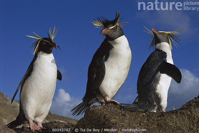 Northern Rockhopper Penguin (Eudyptes moseleyi) trio on rock, Nightingale Island, South Atlantic  ,  Adult, Color Image, Day, Eudyptes chrysocome, Front View, Full Length, Horizontal, ILCP, Nightingale Island, Nobody, Outdoors, Photography, Rockhopper Penguin, Seabird, Side View, South Atlantic, Threatened Species, Three Animals, Vulnerable Species, Wildlife,Rockhopper Penguin,South Atlantic,Adult, Color Image, Day, Eudyptes moseleyi, Front View, Full Length, Horizontal, ILCP, Nightingale Island, Nobody, Outdoors, Photography, Rockhopper Penguin, Seabird, Side View, South Atlantic, Threatened Species, Three Animals, Vulnerable Species, Wildlife,Adult, Color Image, Day, Eudyptes moseleyi, Front View, Full Length, Horizontal, ILCP, Nightingale Island, Nobody, Northern Rockhopper Penguin, Outdoors, Photography, Rockhopper Penguin, Seabird, Side View, South Atlantic, Threatened Species, Three Animals, Vulnerable Species, Wildlife  ,  Tui De Roy