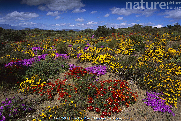 Dewflowers (Drosanthemum sp) and other blooms, Little Karoo, South Africa  ,  Blooming, Color Image, Colorful, Day, Dewflower, Drosanthemum sp, Horizontal, ILCP, Landscape, Little Karoo, Nobody, Outdoors, Photography, Pink, Red, South Africa, Wildflower, World Heritage Site, Yellow,Dewflower,South Africa  ,  Tui De Roy