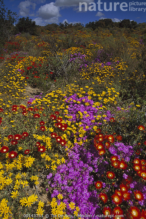 Dewflowers (Drosanthemum sp) and other blooms, Little Karoo, South Africa  ,  Blooming, Color Image, Colorful, Day, Dewflower, Drosanthemum sp, ILCP, Landscape, Little Karoo, Nobody, Outdoors, Photography, Pink, Red, South Africa, Vertical, Wildflower, World Heritage Site, Yellow,Dewflower,South Africa  ,  Tui De Roy