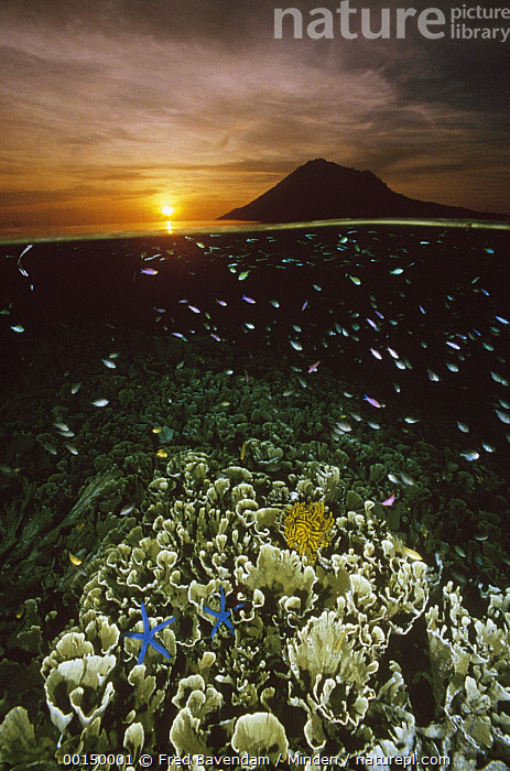 Sunset with hard corals and small reef fish just beneath the water's surface at Bunaken Island, Manado Tua Marine National Park, Indonesia, Bunaken Island, Color Image, Full Length, Large Group of Animals, Manado Tua Marine National Park, Nobody, Photography, Small, Split-view, Sulawesi, Sunrise, Sunset, Underwater, Vertical,Indonesia, Fred Bavendam