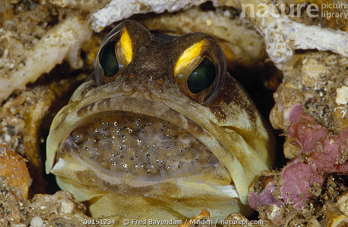 Spotfin Jawfish (Opistognathus sp) male protectively incubating a clutch of eggs in his mouth, Manado, North Sulawesi, Indonesia, Close Up, Color Image, Egg, Father, Fish, Front View, Head and Shoulders, High Angle View, Horizontal, Incubating, Looking at Camera, Manado, Mouth, Nobody, One Animal, Opistognathus sp, Photography, Spotfin Jawfish, Sulawesi, Underwater, Wildlife,Spotfin Jawfish, , ,Indonesia, Fred Bavendam