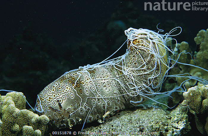 Leopard Sea Cucumber (Bohadschia argus) ejects a mass of long white sticky cuvierian tubules as a defense when disturbed, Manado, Indonesia, Bohadschia argus, Color Image, Defending, Defensive, Full Length, Horizontal, Leopard Sea Cucumber, Manado, Nobody, One Animal, Photography, Side View, Sulawesi, Underwater, Wildlife,Leopard Sea Cucumber,Indonesia, Fred Bavendam