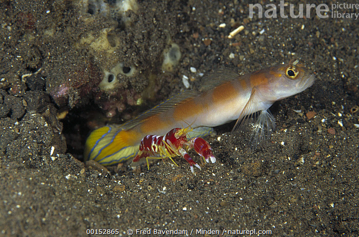 Goby (Amblyeleotris sp) keeping watch while a Snapping Shrimp (Alpheus randalli) excavates their shared burrow, Bali, Indonesia, Alpheus randalli, Amblyeleotris sp, Bali, Color Image, Digging, Entrance, Fish, Friend, Full Length, Guarding, High Angle View, Horizontal, Indonesia, Nobody, One Animal, Photography, Protecting, Randall's Shrimp, Sharing, Shrimp, Side View, Snapping Shrimp, Symbiosis, Underwater, Wildlife,Goby,Randall's Shrimp,Alpheus randalli,Indonesia, Fred Bavendam