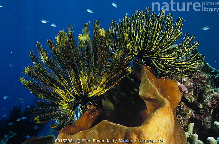 Feather Star (Oxycomanthus bennetti) group clinging to the lip of a large sponge, Manado, North Sulawesi, Indonesia, Clinging, Color Image, Feather Star, Full Length, Horizontal, Large, Large Group of Animals, Manado, Nobody, Oxycomanthus bennetti, Photography, Sulawesi, Underwater, Wildlife,Feather Star,Indonesia, Fred Bavendam