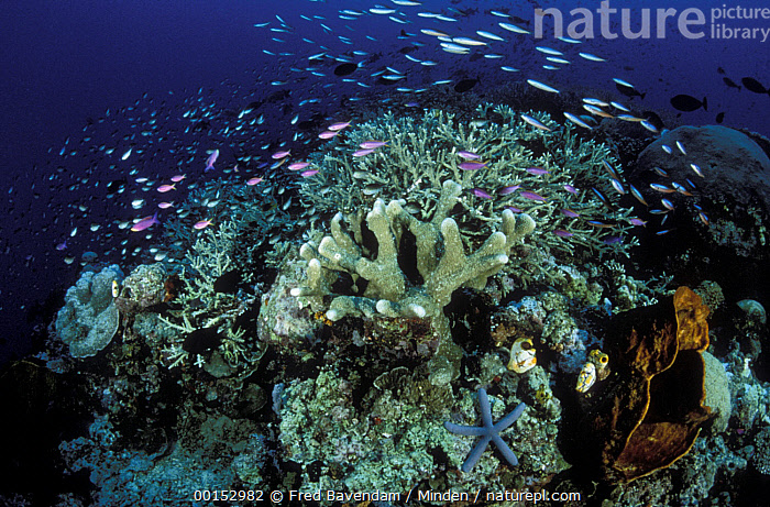 Variety of small reef fish swimming in the currents above a Hard Coral reef with Sponges, Ascidians, and a blue Sea Star, Manado, North Sulawesi, Indonesia, Color Image, Coral Reef, Full Length, Horizontal, Large Group of Animals, Manado, Nobody, Photography, Starfish, Sulawesi, Swimming, Underwater,Indonesia, Fred Bavendam