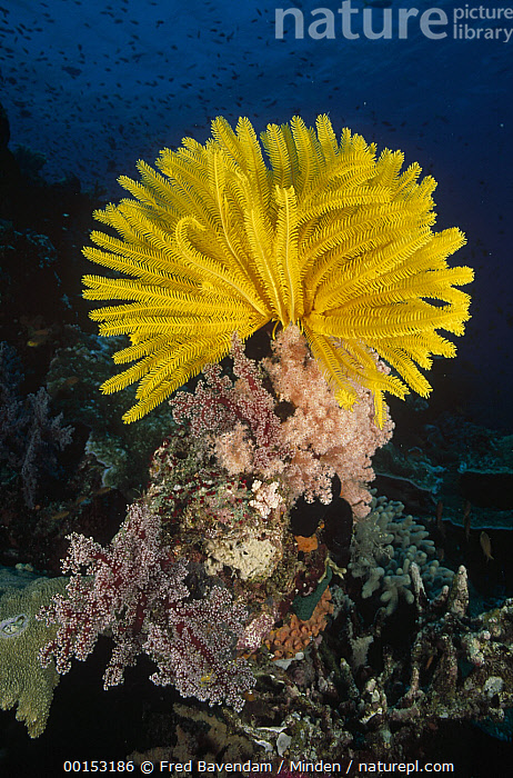 Feather Star (Oxycomanthus bennetti) clinging to a coral prominence where it can feed in the currents, Milne Bay, Papua New Guinea  ,  Color Image, Colorful, Eating, Feather Star, Full Length, Large Group of Objects, Milne Bay, New Guinea, Nobody, Oxycomanthus bennetti, Papua New Guinea, Photography, Underwater, Vertical, Wildlife, Yellow,Feather Star,Papua New Guinea  ,  Fred Bavendam