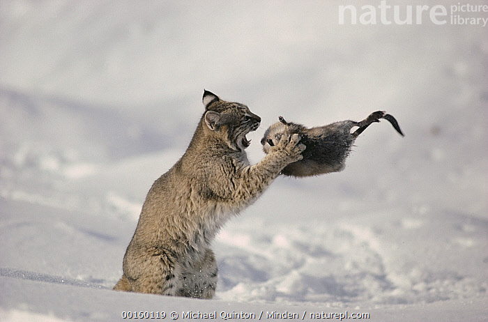 Bobcat (Lynx rufus) fighting with Muskrat (Ondatra zibethicus) in winter, Idaho. Sequence 1 of 4  ,  Adult, Attacking, Bobcat, Color Image, Day, Full Length, Horizontal, Hunting, Idaho, Killing, Lynx rufus, Muskrat, Nobody, Ondatra zibethicus, Photography, Predator, Prey, Sequence, Side View, Two Animals, USA, Wildlife, Winter,Bobcat,Muskrat,Ondatra zibethicus,Idaho, USA  ,  Michael Quinton