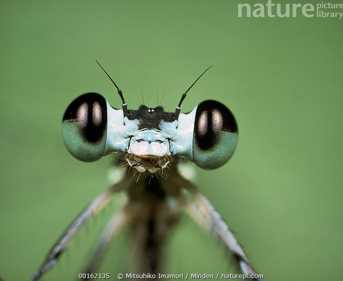 Emerald Damselfly (Lestes sponsa) close up portrait  ,  Close Up, Color Image, Damselfly, Emerald Damselfly, Eye, Front View, Head and Shoulders, Horizontal, Humor, Insect, Lestes sponsa, Looking at Camera, Magnification, Nobody, One Animal, Photography, Portrait, Wildlife,Emerald Damselfly,Close Up, Color Image, Damselfly, Emerald Damselfly, Eye, Front View, Head and Shoulders, Horizontal, Humor, Insect, Lestes sponsa, Looking at Camera, Magnification, Nobody, One Animal, Photography, Portrait, Wildlife  ,  Mitsuhiko Imamori