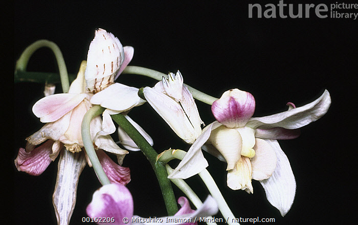 Orchid Mantis (Hymenopus coronatus) on orchid flower, Asia  ,  Asia, Camouflage, Close Up, Color Image, Flower, Flower Mantis, Horizontal, Hymenopus coronatus, Insect, Mimicking, Night, Nobody, Photography, Wildlife,Orchid Mantis,Asia  ,  Mitsuhiko Imamori