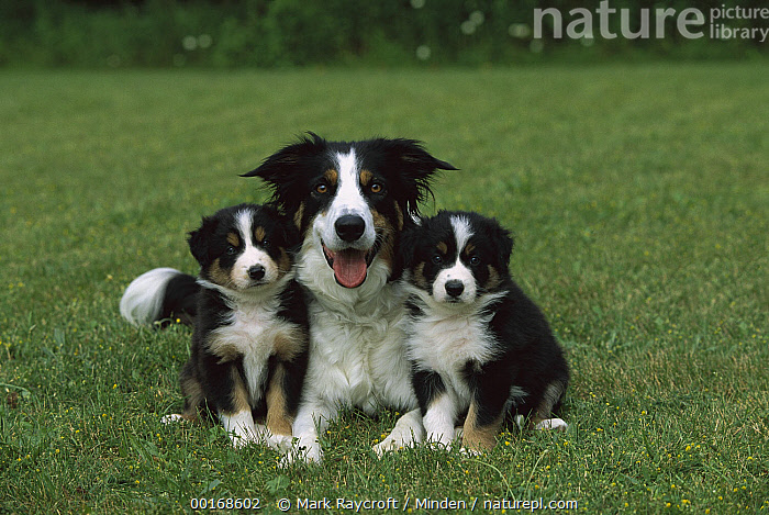 Border Collie (Canis familiaris) mother with two puppies  ,  Border Collie, Canis familiaris, Color Image, Day, Dog, Domestic Dog, Formation, Front View, Horizontal, Looking at Camera, Mother, Nobody, Panting, Pet, Photography, Puppy, Three Animals, Three Quarter Length,Border Collie  ,  Mark Raycroft