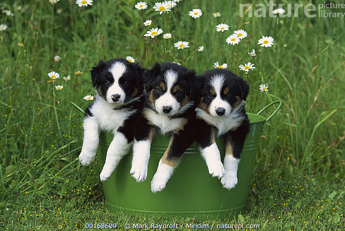 Border Collie (Canis familiaris) three puppies in metal bucket  ,  Border Collie, Canis familiaris, Color Image, Day, Dog, Domestic Dog, Formation, Front View, Head and Shoulders, Horizontal, Looking at Camera, Nobody, Pet, Photography, Puppy, Three Animals,Border Collie,Border Collie, Canis familiaris, Color Image, Day, Dog, Domestic Dog, Formation, Front View, Head and Shoulders, Horizontal, Looking at Camera, Nobody, Pet, Photography, Puppy, Three Animals  ,  Mark Raycroft