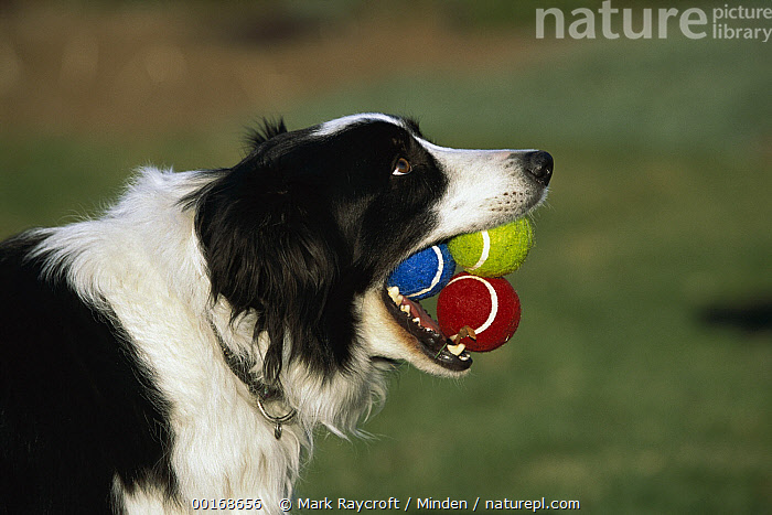 Border Collie (Canis familiaris) adult with three tennis balls in its mouth, waiting to play fetch  ,  Adult, Border Collie, Canis familiaris, Carrying, Close Up, Collar, Color Image, Day, Difference, Dog, Domestic Dog, Fetching, Grabbing, Head and Shoulders, Horizontal, Humor, Mouth, Nobody, One Animal, Pet, Photography, Playing, Profile, Side View, Three Objects,Border Collie,Adult, Border Collie, Canis familiaris, Carrying, Close Up, Collar, Color Image, Day, Difference, Dog, Domestic Dog, Fetching, Grabbing, Head and Shoulders, Horizontal, Humor, Mouth, Nobody, One Animal, Pet, Photography, Playing, Profile, Side View, Three Objects  ,  Mark Raycroft