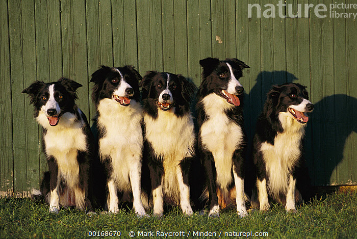 Border Collie (Canis familiaris) five adults sitting in a row  ,  Adult, Black, Border Collie, Canis familiaris, Color Image, Day, Dog, Domestic Dog, Five Animals, Front View, Full Length, Horizontal, Line, Looking at Camera, Medium Group of Animals, Nobody, Pet, Photography, Row, Sitting, White,Border Collie,Adult, Black, Border Collie, Canis familiaris, Color Image, Day, Dog, Domestic Dog, Five Animals, Front View, Full Length, Horizontal, Line, Looking at Camera, Medium Group of Animals, Nobody, Pet, Photography, Row, Sitting, White  ,  Mark Raycroft
