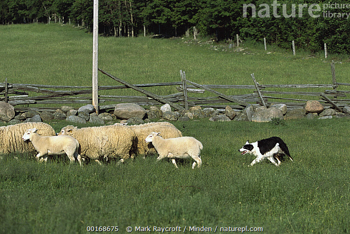 Border Collie (Canis familiaris) herding sheep in pasture  ,  Adult, Border Collie, Canis familiaris, Chasing, Color Image, Day, Dog, Domestic Dog, Field, Full Length, Herd, Herding, Horizontal, Meadow, Medium Group of Animals, Nobody, Pasture, Pet, Photography, Running, Side View, Worker, Working,Border Collie,Adult, Border Collie, Canis familiaris, Chasing, Color Image, Day, Dog, Domestic Dog, Field, Full Length, Herd, Herding, Horizontal, Meadow, Medium Group of Animals, Nobody, Pasture, Pet, Photography, Running, Side View, Worker, Working  ,  Mark Raycroft
