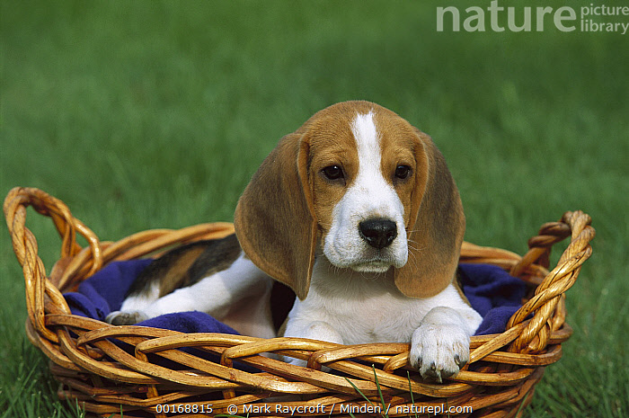 Beagle (Canis familiaris) puppy in a basket  ,  Basket, Beagle, Canis familiaris, Color Image, Cute, Day, Dog, Domestic Dog, Front View, Head and Shoulders, Horizontal, Looking at Camera, Nobody, One Animal, Outdoors, Photography, Puppy,Beagle,Basket, Beagle, Canis familiaris, Color Image, Cute, Day, Dog, Domestic Dog, Front View, Head and Shoulders, Horizontal, Looking at Camera, Nobody, One Animal, Outdoors, Photography, Puppy  ,  Mark Raycroft