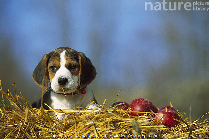 Beagle (Canis familiaris) portrait of puppy in straw with apples  ,  Beagle, Canis familiaris, Color Image, Cute, Day, Dog, Domestic Dog, Front View, Head and Shoulders, Horizontal, Nobody, One Animal, Pet, Photography, Portrait, Puppy,Beagle,Beagle, Canis familiaris, Color Image, Cute, Day, Dog, Domestic Dog, Front View, Head and Shoulders, Horizontal, Nobody, One Animal, Pet, Photography, Portrait, Puppy  ,  Mark Raycroft