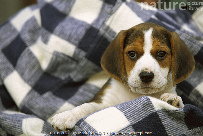 Beagle (Canis familiaris) portrait of a puppy  ,  Beagle, Canis familiaris, Close Up, Color Image, Cute, Dog, Domestic Dog, Face, Front View, Head and Shoulders, Horizontal, Looking at Camera, Nobody, One Animal, Pet, Photography, Portrait, Puppy,Beagle,Beagle, Canis familiaris, Close Up, Color Image, Cute, Dog, Domestic Dog, Face, Front View, Head and Shoulders, Horizontal, Looking at Camera, Nobody, One Animal, Pet, Photography, Portrait, Puppy  ,  Mark Raycroft