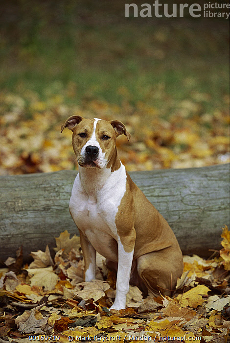 American Pit Bull Terrier (Canis familiaris) sitting in fallen leaves  ,  American Pit Bull Terrier, Autumn, Canis familiaris, Color Image, Colorful, Day, Dog, Domestic Dog, One Animal, Outdoors, Pet, Photography, Pit Bull, Sitting, Vertical,American Pit Bull Terrier,American Pit Bull Terrier, Autumn, Canis familiaris, Color Image, Colorful, Day, Dog, Domestic Dog, One Animal, Outdoors, Pet, Photography, Pit Bull, Sitting, Vertical  ,  Mark Raycroft