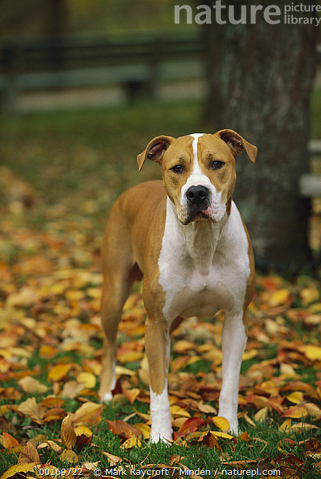 American Pit Bull Terrier (Canis familiaris) standing in fallen leaves  ,  American Pit Bull Terrier, Autumn, Canis familiaris, Color Image, Colorful, Day, Dog, Domestic Dog, One Animal, Outdoors, Pet, Photography, Pit Bull, Standing, Vertical,American Pit Bull Terrier,American Pit Bull Terrier, Autumn, Canis familiaris, Color Image, Colorful, Day, Dog, Domestic Dog, One Animal, Outdoors, Pet, Photography, Pit Bull, Standing, Vertical  ,  Mark Raycroft