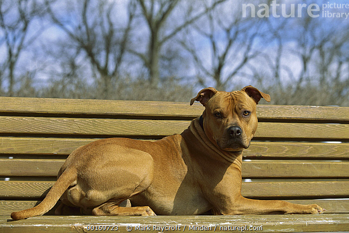 American Pit Bull Terrier (Canis familiaris) laying on park bench  ,  American Pit Bull Terrier, Canis familiaris, Color Image, Day, Dog, Domestic Dog, Horizontal, Lying, One Animal, Outdoors, Pet, Photography, Pit Bull, Portrait, Reclining, Relaxing,American Pit Bull Terrier,American Pit Bull Terrier, Canis familiaris, Color Image, Day, Dog, Domestic Dog, Horizontal, Lying, One Animal, Outdoors, Pet, Photography, Pit Bull, Portrait, Reclining, Relaxing  ,  Mark Raycroft