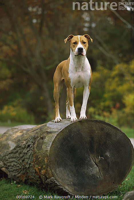 American Pit Bull Terrier (Canis familiaris) standing on large log  ,  American Pit Bull Terrier, Canis familiaris, Color Image, Day, Dog, Domestic Dog, Log, One Animal, Outdoors, Pet, Photography, Pit Bull, Standing, Vertical,American Pit Bull Terrier,American Pit Bull Terrier, Canis familiaris, Color Image, Day, Dog, Domestic Dog, Log, One Animal, Outdoors, Pet, Photography, Pit Bull, Standing, Vertical  ,  Mark Raycroft