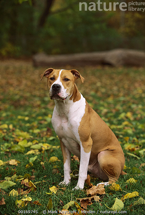 American Pit Bull Terrier (Canis familiaris) portrait sitting in grass  ,  American Pit Bull Terrier, Canis familiaris, Color Image, Day, Dog, Domestic Dog, One Animal, Outdoors, Pet, Photography, Pit Bull, Portrait, Sitting, Vertical,American Pit Bull Terrier  ,  Mark Raycroft
