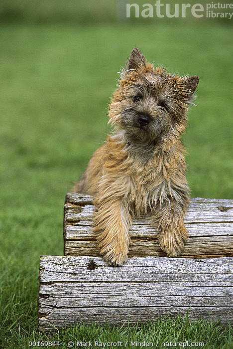 Cairn Terrier (Canis familiaris) puppy leaning on logs  ,  Alert, Cairn Terrier, Canis familiaris, Color Image, Curious, Day, Dog, Domestic Dog, Front View, Head and Shoulders, Leaning, Log, Looking at Camera, Nobody, One Animal, Outdoors, Pet, Photography, Puppy, Scruffy, Terrier,Cairn Terrier  ,  Mark Raycroft