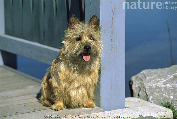 Cairn Terrier (Canis familiaris) on deck  ,  Cairn Terrier, Canis familiaris, Color Image, Cute, Day, Deck, Dog, Domestic Dog, Nobody, One Animal, Outdoors, Panting, Pet, Photography, Portrait, Scruffy, Sitting, Small, Terrier, Tongue,Cairn Terrier,Cairn Terrier, Canis familiaris, Color Image, Cute, Day, Deck, Dog, Domestic Dog, Nobody, One Animal, Outdoors, Panting, Pet, Photography, Portrait, Scruffy, Sitting, Small, Terrier, Tongue  ,  Mark Raycroft