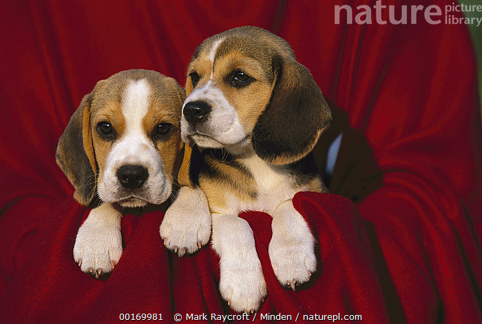 Beagle (Canis familiaris) puppy pair on red blanket  ,  Beagle, Blanket, Canis familiaris, Color Image, Cute, Day, Dog, Domestic Dog, Horizontal, Nobody, Outdoors, Pet, Photography, Puppy, Sibling, Two Animals,Beagle,Beagle, Blanket, Canis familiaris, Color Image, Cute, Day, Dog, Domestic Dog, Horizontal, Nobody, Outdoors, Pet, Photography, Puppy, Sibling, Two Animals  ,  Mark Raycroft