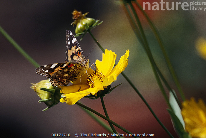 American Painted Lady (Cynthia virginiensis) butterfly feeding on Tickseed (Coreopsis sp) flower, New Mexico, American Painted Lady, Color Image, Coreopsis sp, Cynthia virginiensis, Day, Eating, Flower, Full Length, Horizontal, Insect, New Mexico, Nobody, One Animal, Painted Lady, Photography, Tickseed, USA, Wildflower, Yellow,American Painted Lady,Tickseed,Coreopsis sp,New Mexico, USA, Tim Fitzharris