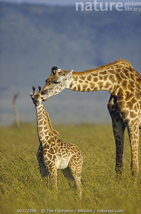 Masai Giraffe (Giraffa tippelskirchi) mother and young, Kenya, Affection, Color Image, Cute, Day, Emotion, Family, Giraffa tippelskirchi, Head and Shoulders, Kenya, Kissing, Masai Giraffe, Mother, Nobody, Outdoors, Photography, Savannah, Side View, Three Quarter Length, Two Animals, Vertical, Wildlife,Masai Giraffe,Kenya, Tim Fitzharris