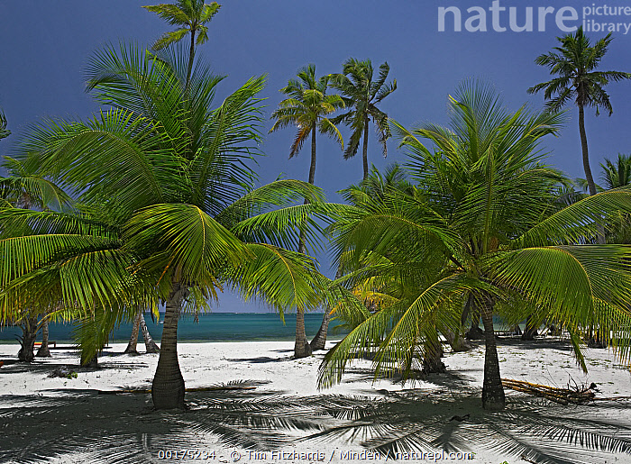 Palm trees on beach at Palmetto Bay, Roatan Island, Honduras  ,  Arecaceae, Beach, Color Image, Day, Honduras, Horizontal, Landscape, Nobody, Ocean, Palmetto Bay, Photography, Roatan Island, Sea, Seascape, Shadow, Tropical,Palm,Honduras,Arecaceae, Beach, Color Image, Day, Honduras, Horizontal, Landscape, Nobody, Ocean, Palmetto Bay, Photography, Roatan Island, Sea, Seascape, Shadow, Tropical  ,  Tim Fitzharris