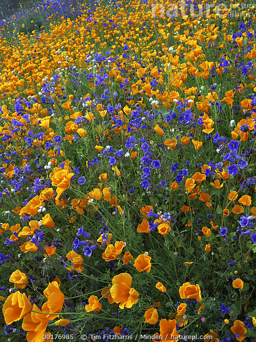 California Poppy (Eschscholzia californica) and Desert Bluebell (Phacelia campanularia) flowers, Antelope Valley, California  ,  Antelope Valley, Blooming, California Poppy, California, Close Up, Color Image, Day, Desert Bluebell, Eschscholzia californica, Field, Flower, Landscape, Large Group of Objects, Mojave Desert, Nobody, Orange, Outdoors, Phacelia campanularia, Photography, Purple, Spring, Vertical, Wildflower,California Poppy,Desert Bluebell,Phacelia campanularia,California, USA,Antelope Valley, Blooming, California Poppy, California, Close Up, Color Image, Day, Desert Bluebell, Eschscholzia californica, Field, Flower, Landscape, Large Group of Objects, Mojave Desert, Nobody, Orange, Outdoors, Phacelia campanularia, Photography, Purple, Spring, Vertical, Wildflower  ,  Tim Fitzharris