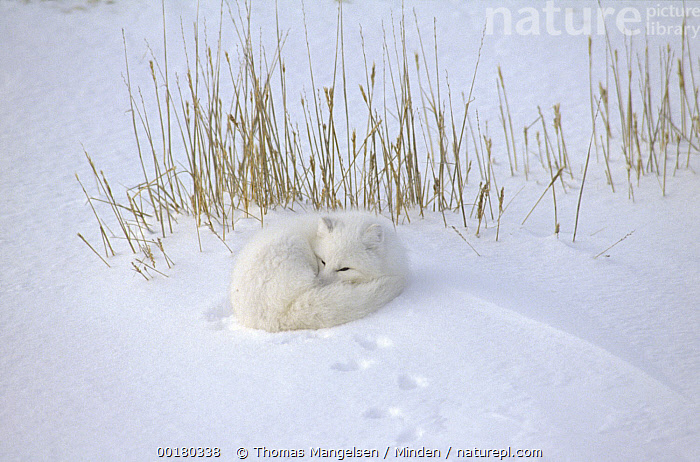 Arctic Fox (Alopex lagopus) curled up resting in snow, Hudson Bay, near Churchill, Manitoba, Canada  ,  Alopex lagopus, Animal in Landscape, Arctic Fox, Arctic, Canada, Churchill, Color Image, Day, High Angle View, Horizontal, Hudson Bay, ILCP, Manitoba, Nobody, One Animal, Photography, Resting, Snow, Three Quarter Length, White, Wildlife,Arctic Fox,Canada  ,  Thomas Mangelsen