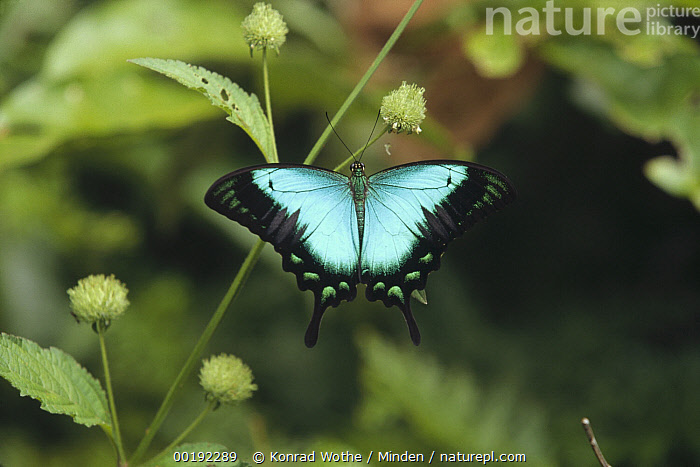 Ulysses Butterfly (Papilio ulysses) on plant stem, Indonesia  ,  Blue, Color Image, Colorful, Day, Full Length, Horizontal, Indonesia, Nobody, One Animal, Papilio ulysses, Photography, Rear View, Ulysses Butterfly, Wildlife,Ulysses Butterfly,Indonesia,Blue, Color Image, Colorful, Day, Full Length, Horizontal, Indonesia, Nobody, One Animal, Papilio ulysses, Photography, Rear View, Ulysses Butterfly, Wildlife  ,  Konrad Wothe
