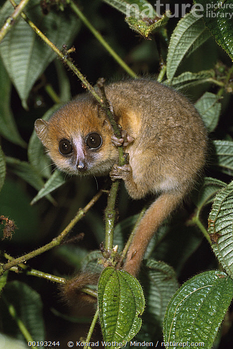 Brown Mouse Lemur (Microcebus rufus), Madagascar  ,  Adult, Brown Mouse Lemur, Clinging, Color Image, Full Length, Lemur sp, Looking at Camera, Madagascar, Microcebus rufus, Mouse, Mouse Lemur, Night, Nobody, One Animal, Photography, Primate, Side View, Small, Vertical, Wildlife,Brown Mouse Lemur,Madagascar  ,  Konrad Wothe