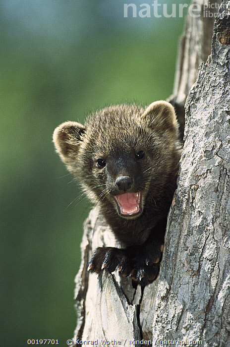 Fisher (Martes pennanti) baby calling from tree cavity, North America, Baby, Calling, Captive, Close Up, Color Image, Cute, Day, Fisher, Front View, Head and Shoulders, Looking at Camera, Martes pennanti, Nobody, North America, One Animal, Open Mouth, Photography, Portrait, Smiling, Vertical,Fisher,North America, Konrad Wothe