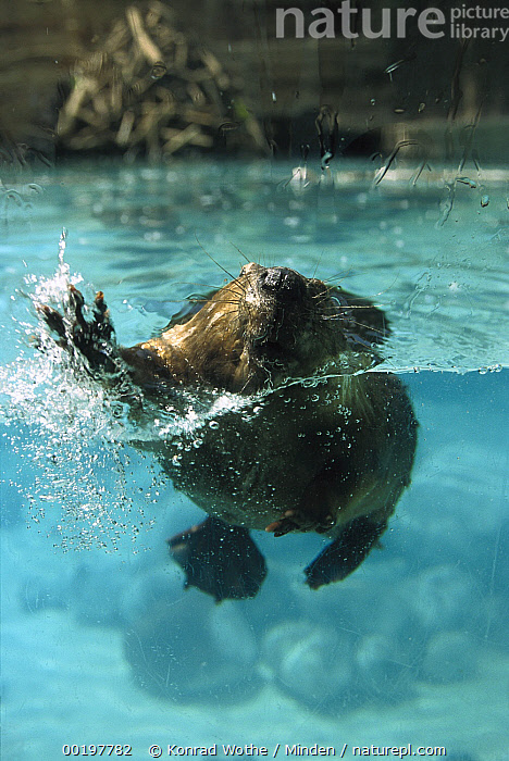 American Beaver (Castor canadensis) swimming towards camera with lodge in background, North America, American Beaver, Approaching, Captive, Castor canadensis, Color Image, Day, Front View, Full Length, High Angle View, Humor, Lodge, Looking at Camera, Nobody, North America, One Animal, Photography, Splashing, Underwater, Vertical, Water, Wildlife, Zoo,American Beaver,North America, Konrad Wothe