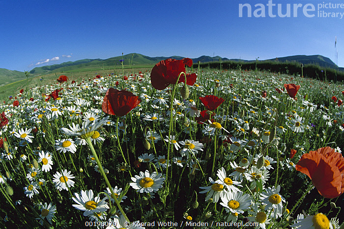 Chamomile (Anthemis arvensis) and Corn Poppy in flowering meadow, Italy, Anthemis sp, Anthemis arvensis, Blooming, Chamomile, Color Image, Day, Field, Fish-eye, Fish-eye Lens, Flower, Horizon, Horizontal, Italy, Landscape, Large Group of Objects, Meadow, Medicinal Plant, Nobody, Papaver rhoeas, Photography, Piano Grande, Spring, Wildflower,Chamomile,Italy, Konrad Wothe