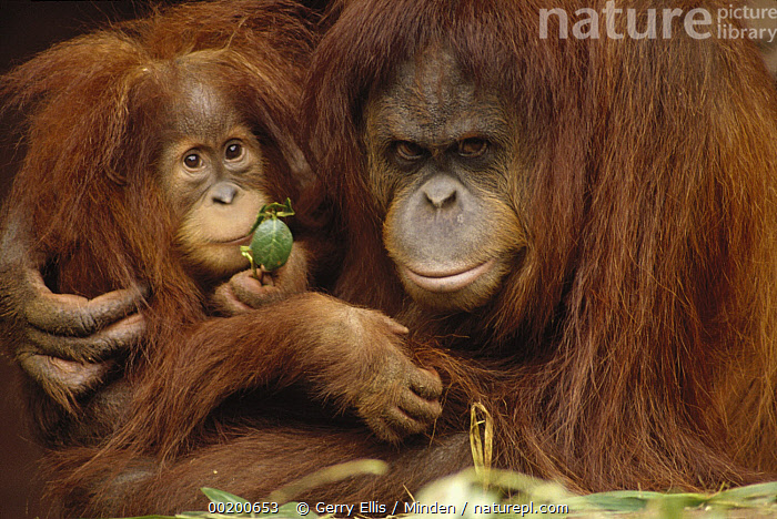 Orangutan (Pongo pygmaeus) mother and baby, Borneo, Baby, Borneo, Captive, Close Up, Color Image, Day, Endangered Species, Front View, Head and Shoulders, Horizontal, Hugging, Looking at Camera, Melbourne Zoo, Mother, Nobody, Orangutan, Photography, Pongo pygmaeus, Portrait, Two Animals, Wildlife,Orangutan,Malaysia, Gerry Ellis