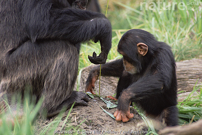 Chimpanzee (Pan troglodytes) teaching young male to use fishing tool, Washington Park Zoo, Chimpanzee, Close Up, Color Image, Day, Endangered Species, Fishing, Horizontal, Male, Nobody, Pan troglodytes, Photography, Side View, Teaching, Three Quarter Length, Tool, Two Animals, USA, Washington, Washington Park Zoo, Wildlife,Chimpanzee,Washington, USA, Gerry Ellis